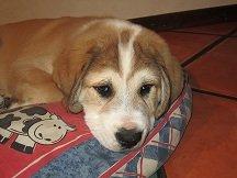 central asian ovcharka pup